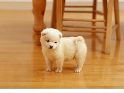 щенок на паркетном полу